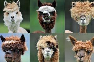 Alpaca Hair Style