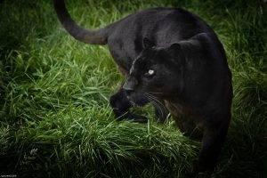 Black panther wild life