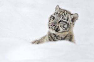 Tigers Baby in Snow