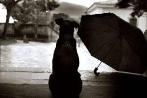 Black Dog Sad Rain Picture