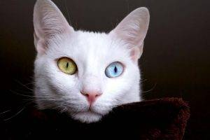 White Cat Color Eyes Desktop