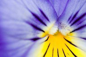 nature, Flowers, Pansies, Macro, Purple Flowers
