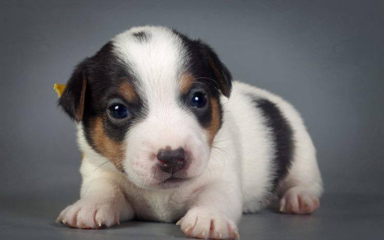animals, Puppies, Baby Animals, Dog HD Wallpaper Desktop Background