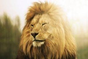 animals, Lion, Wildlife, Sunlight