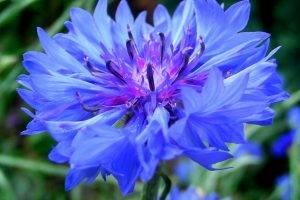 flowers, Blue Flowers