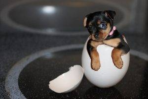 dog, Eggs, Animals, Baby Animals, Yorkshire Terrier