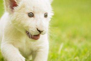 baby Animals, Animals, Lion