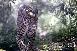 animals, Leopard, Undergrowth, Plants