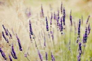 nature, Lavender, Purple Flowers, Depth Of Field