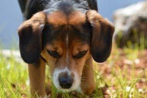 dog, Beagles, Animals, Closeup, Grass