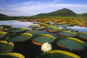 lily Pads, Water Lilies, Lake, Hill, Landscape