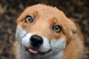 fox, Animals, Nature