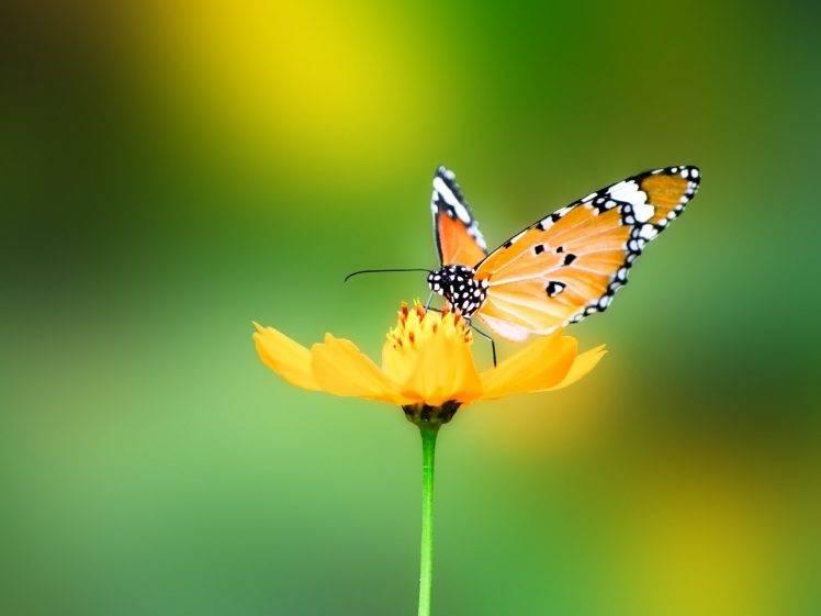 animals, Nature, Butterfly HD Wallpaper Desktop Background