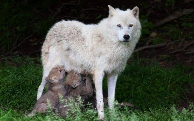 nature, Animals, Wildlife, Wolf, Trees, Forest, Grass, Baby Animals HD Wallpaper Desktop Background