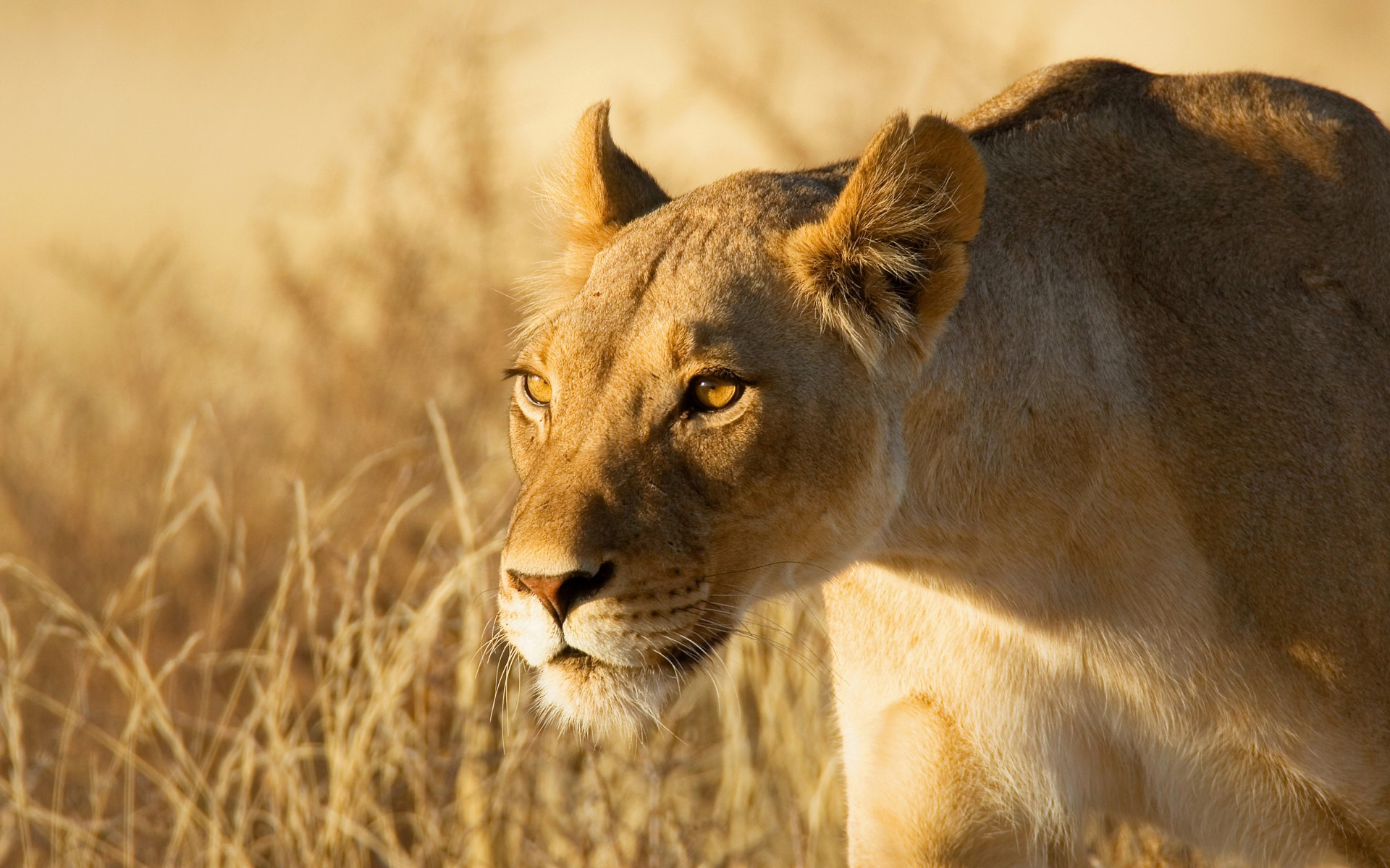 lions hunting animals hd lion wallpapers grass wildlife desktop background animal backgrounds mammals resolution mobile category wallup