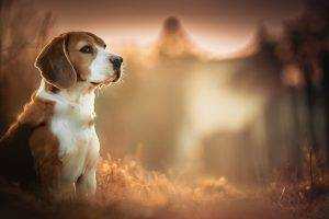 Beagles, Dog, Blurred, Depth Of Field, Animals