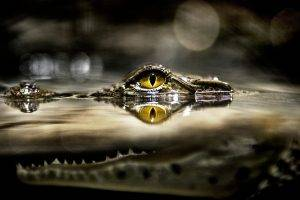 alligators, Animals, Reptile, Split View, Eyes, Wildlife