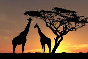 nature, Landscape, Animals, Trees, Sunset, Silhouette, Africa, Giraffes, Clouds