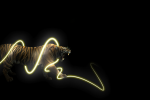 animals, Light Trails, Tiger, Black Background
