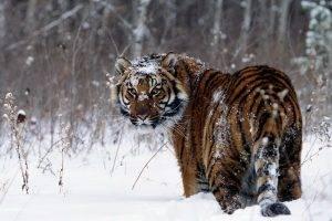 animals, Tiger, Snow