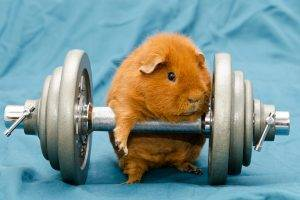humor, Animals, Dumbbells, Gyms, Working Out, Guinea Pigs
