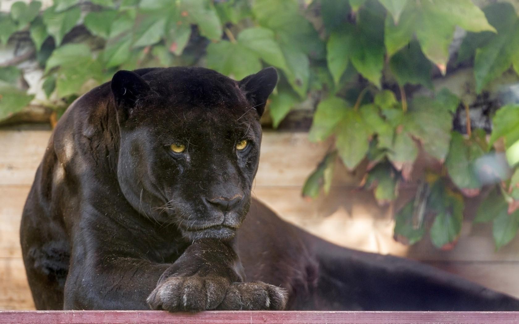 Black Panther Animal Wallpapers: Animals, Black Panther Wallpapers HD / Desktop And Mobile