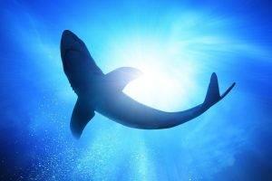 animals, Shark, Underwater