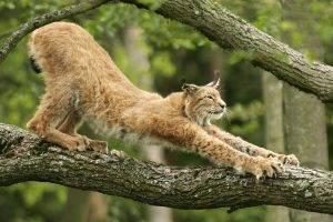 nature, Animals, Cat, Lynx