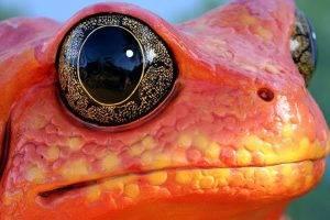 frog, Animals, Nature, Amphibian, Macro, Eyes, Orange