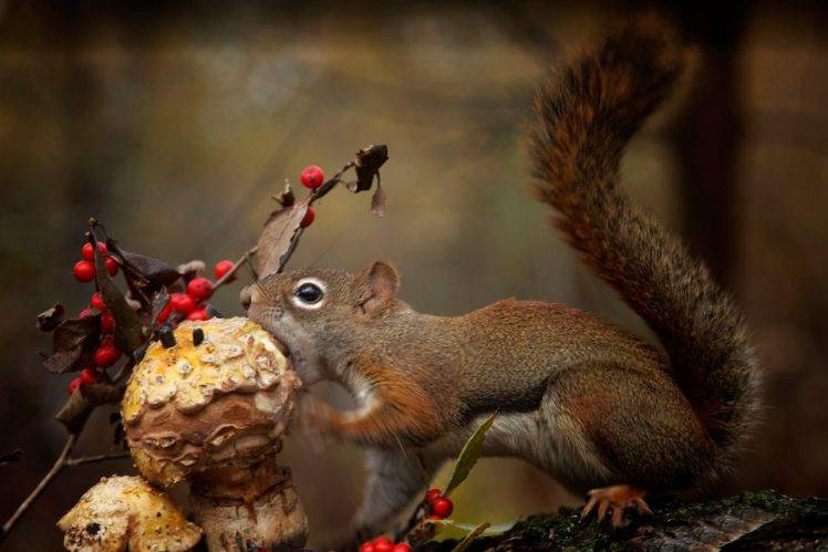 animals, Squirrel, Mushroom, Eating HD Wallpaper Desktop Background