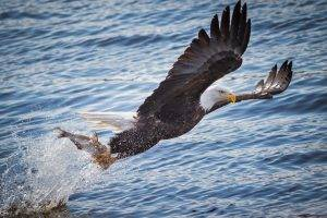 animals, Eagle, Fish, Birds, Water, Hunting