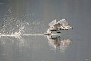 animals, Nature, Swans, Birds, Splashes
