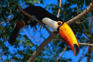 animals, Nature, Wildlife, Birds, Toucans