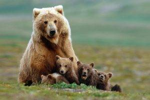 nature, Animals, Grizzly Bears, Bears, Baby Animals, Field, Grass, Depth Of Field