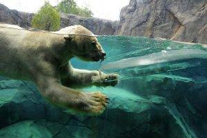 polar Bears, Animals, Ice, Split View, Swimming