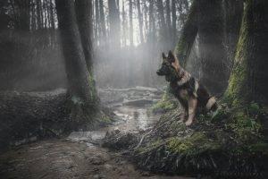 animals, Dog, Forest, German Shepherd, Moss