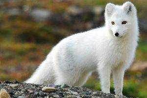 nature, Animals, Fox, Arctic Fox
