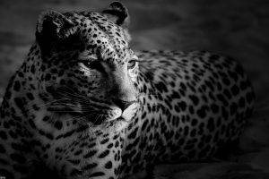 leopard, Animals, Monochrome, Jaguars, Cheetahs