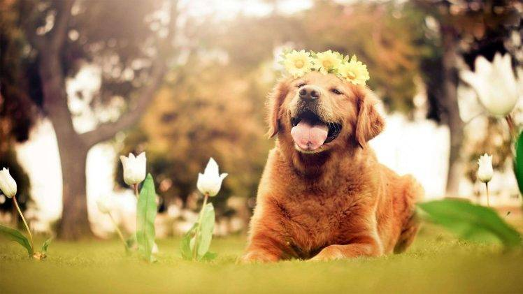 Dog Animals Nature Tulips Flowers Open Mouth Golden Retrievers Wallpapers Hd Desktop And Mobile Backgrounds