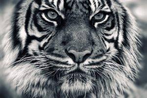 tiger, Animals
