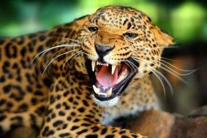 animals, Jaguars