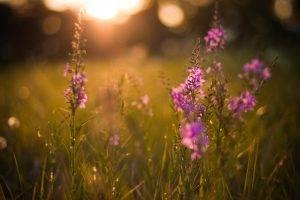 flowers, Purple Flowers, Nature, Bokeh, Grass