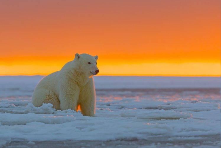 Animals, Polar Bears Wallpapers HD / Desktop And Mobile