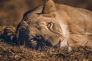 animals, Lion, Mammals