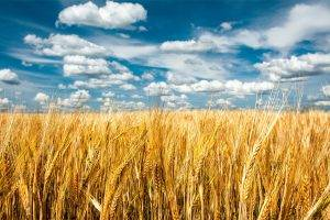 nature, Landscape, Clouds, Field, Grain, Spikelets, Minimalism, Sky, Seeds, Plants, Horizon