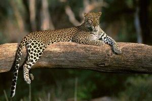 animals, Nature, Jaguars, Feline, Leopard