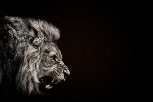 animals, Lion, Black