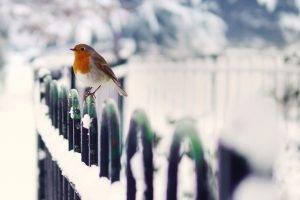 animals, Birds, Winter, Snow, Robins