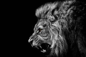 lion, Animals, Africa, Black, Artwork, Photography