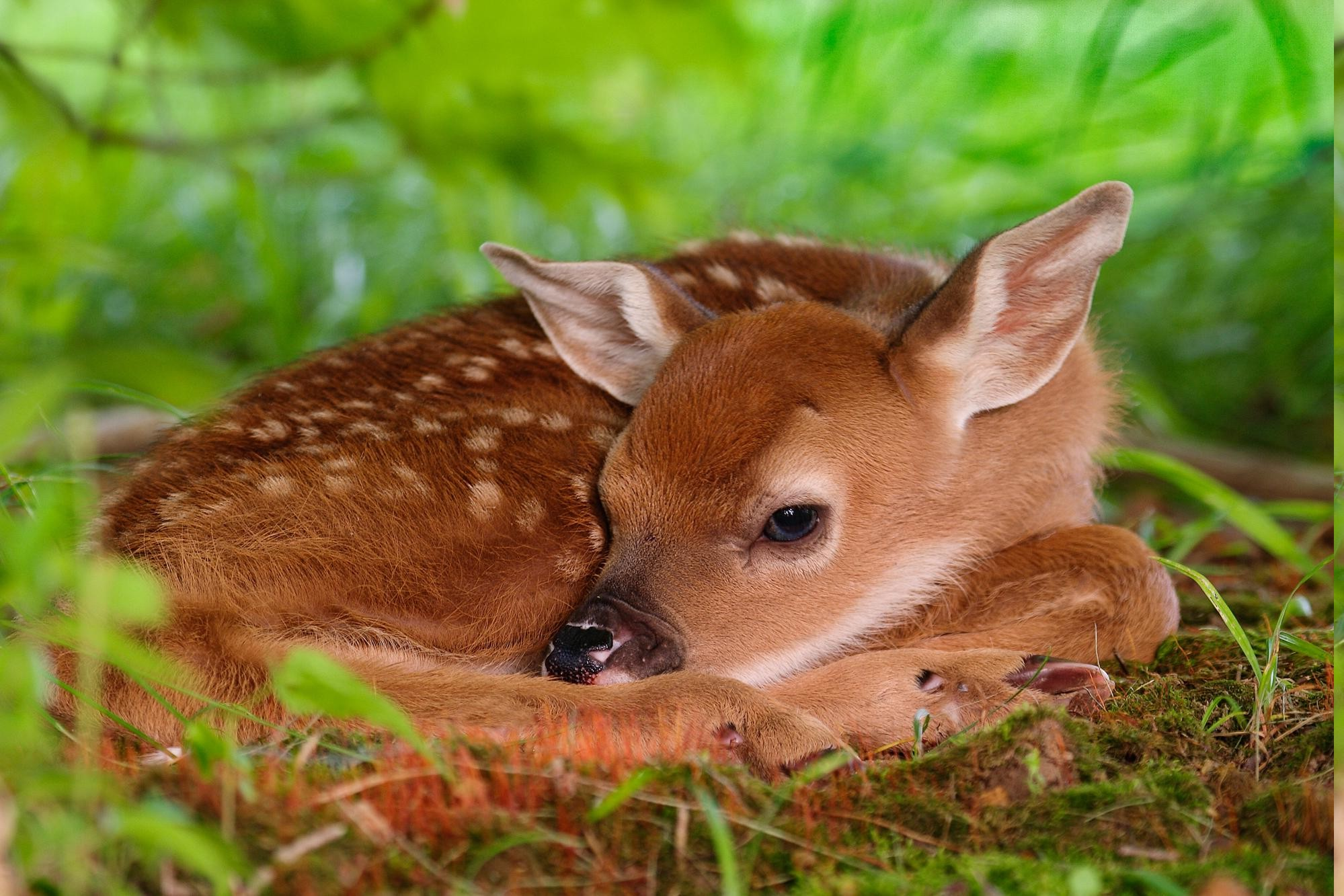 animals nature baby deer desktop background fawns backgrounds wallpapers mobile screen wallup